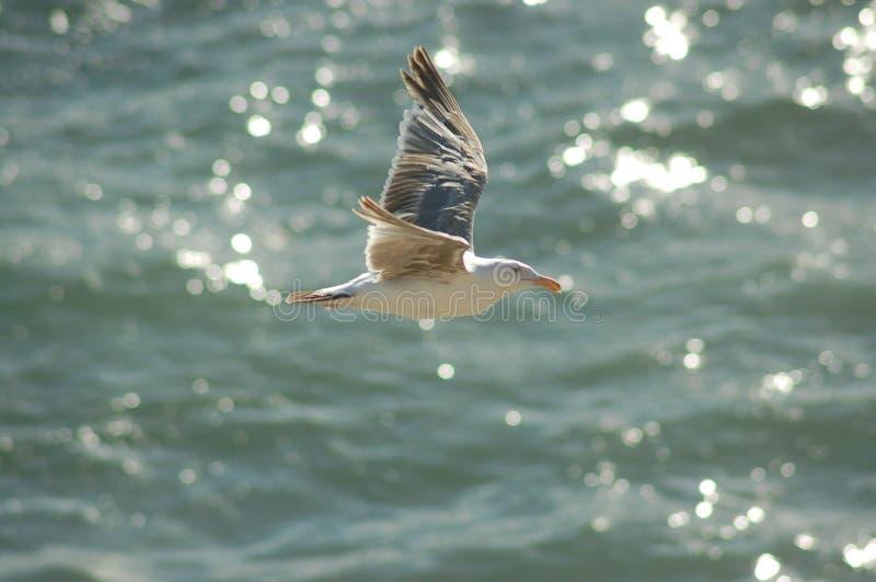 seagull πτήσης στοκ φωτογραφίες με δικαίωμα ελεύθερης χρήσης