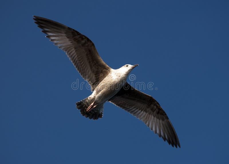 Download Seagull πτήσης στοκ εικόνες. εικόνα από νέος, ουρανός - 17051322