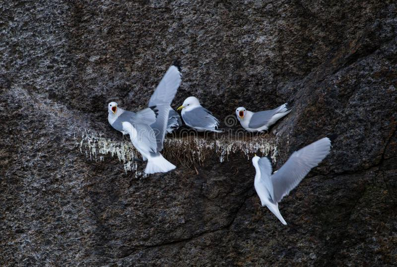 Seagull σίτιση στη φωλιά στοκ εικόνες