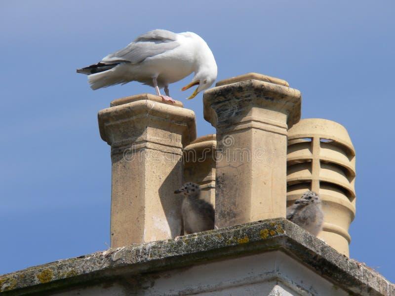 Seagull σε μια καπνοδόχο με τις νεολαίες της στοκ εικόνες