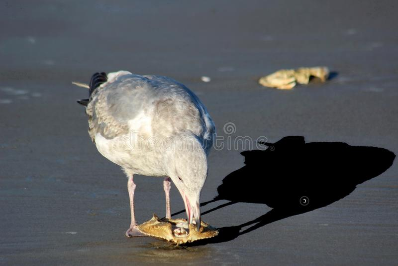 Seagull σκιά ματιών στοκ εικόνες με δικαίωμα ελεύθερης χρήσης