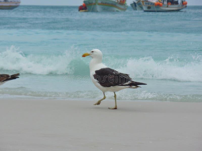 Seagull στάση στην άμμο, Prainhas do Pontal παραλία, Arraial do Cabo στοκ εικόνα με δικαίωμα ελεύθερης χρήσης