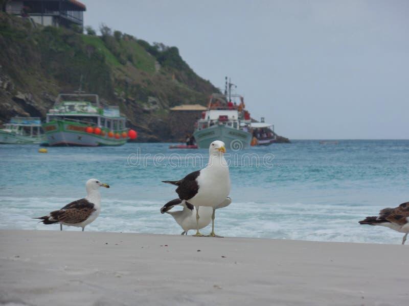 Seagull στάση στην άμμο, Prainhas do Pontal παραλία, Arraial do Cabo στοκ εικόνες