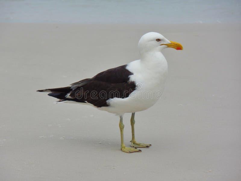 Seagull στάση στην άμμο, Prainhas do Pontal παραλία, Arraial do Cabo στοκ φωτογραφία