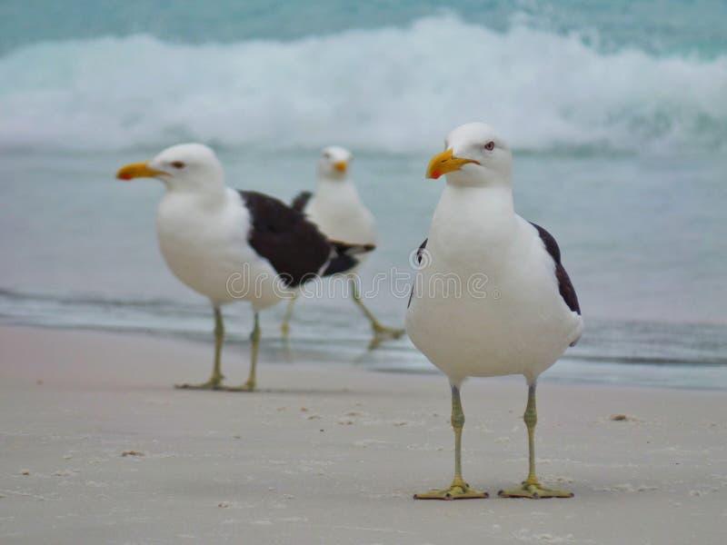 Seagull στάση στην άμμο, Prainhas do Pontal παραλία, Arraial do Cabo στοκ φωτογραφίες