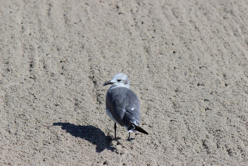 Seagull στην άμμο στοκ φωτογραφίες