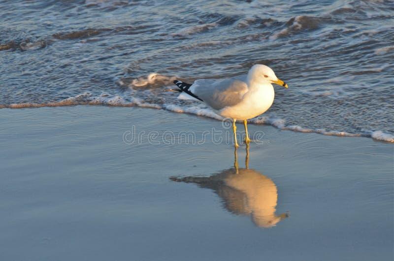 Seagull στην παραλία μπροστά από τα κύματα, NYC στοκ φωτογραφία