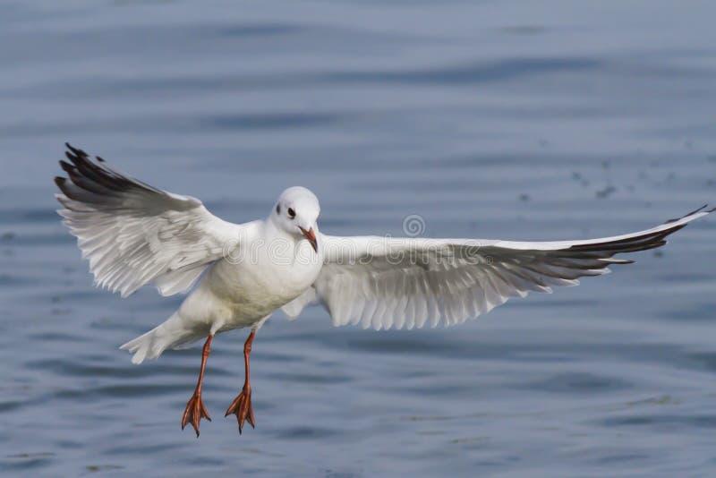 Seagull στη λίμνη στοκ φωτογραφία με δικαίωμα ελεύθερης χρήσης