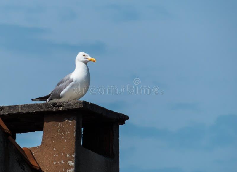 Seagull στη στέγη στοκ φωτογραφίες
