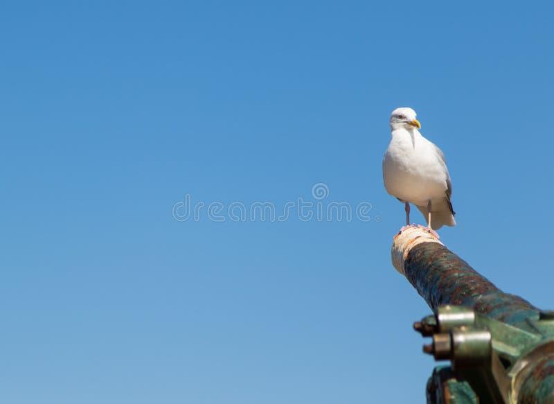 Seagull στον κανόνα στο λιμάνι Whitby στοκ εικόνες