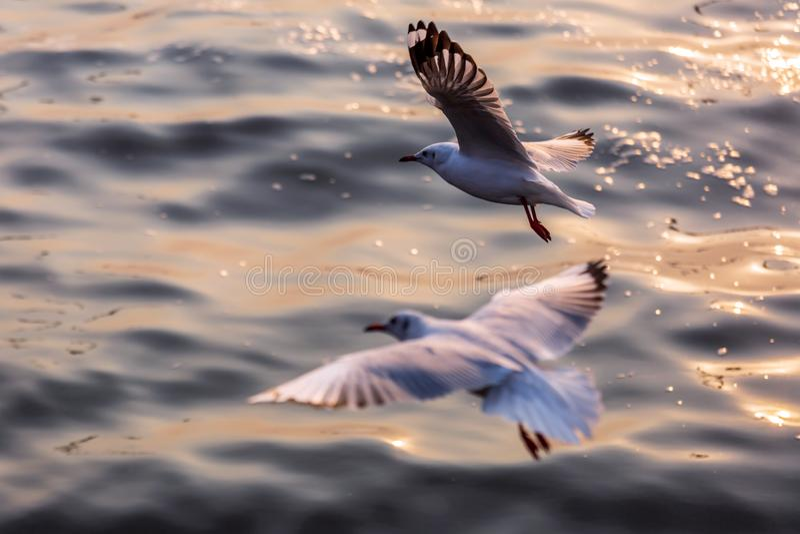 Seagull, τα πουλιά μεταναστεύει από τη Σιβηρία σε Bangpu Samutprakhan Ταϊλάνδη, είναι από τον ταξιδιώτη κατά τη διάρκεια του ηλιο στοκ εικόνα με δικαίωμα ελεύθερης χρήσης