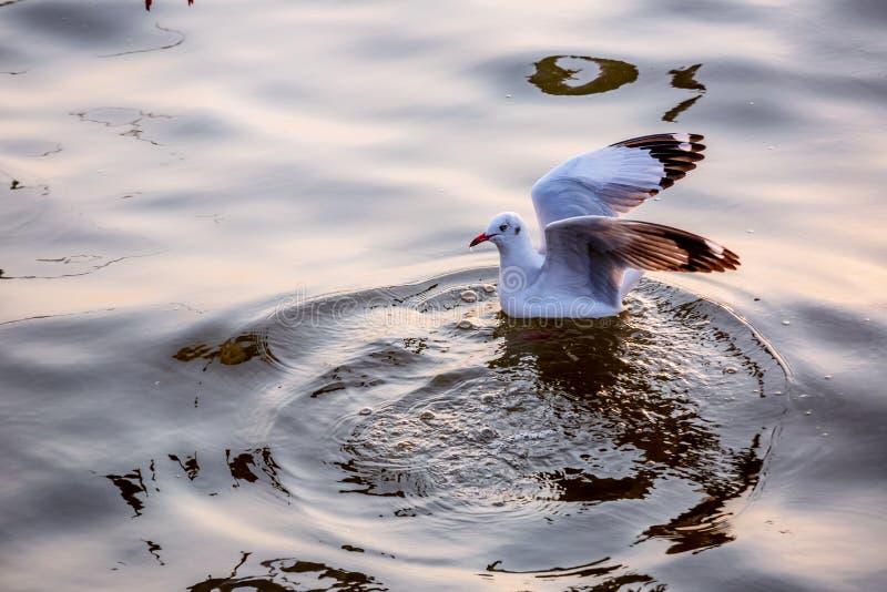 Seagull, τα πουλιά μεταναστεύει από τη Σιβηρία σε Bangpu Samutprakhan Ταϊλάνδη, είναι από τον ταξιδιώτη κατά τη διάρκεια του ηλιο στοκ φωτογραφία