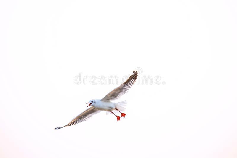 Seagull, τα πουλιά μεταναστεύει από τη Σιβηρία σε Bangpu Samutprakhan Ταϊλάνδη, είναι από τον ταξιδιώτη κατά τη διάρκεια του ηλιο στοκ εικόνες με δικαίωμα ελεύθερης χρήσης