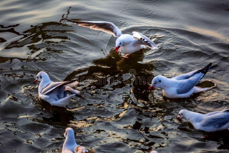 Seagull, τα πουλιά μεταναστεύει από τη Σιβηρία σε Bangpu Samutprakhan Ταϊλάνδη, είναι από τον ταξιδιώτη κατά τη διάρκεια του ηλιο στοκ φωτογραφίες με δικαίωμα ελεύθερης χρήσης