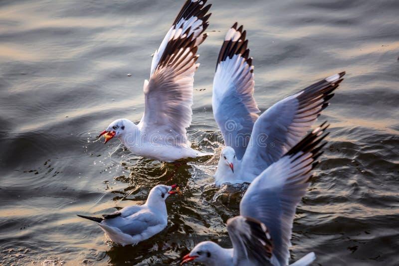 Seagull, τα πουλιά μεταναστεύει από τη Σιβηρία σε Bangpu Samutprakhan Ταϊλάνδη, είναι από τον ταξιδιώτη κατά τη διάρκεια του ηλιο στοκ εικόνα
