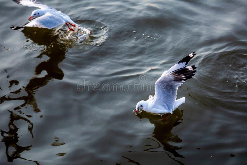 Seagull, τα πουλιά μεταναστεύει από τη Σιβηρία σε Bangpu Samutprakhan Ταϊλάνδη, είναι από τον ταξιδιώτη κατά τη διάρκεια του ηλιο στοκ εικόνες