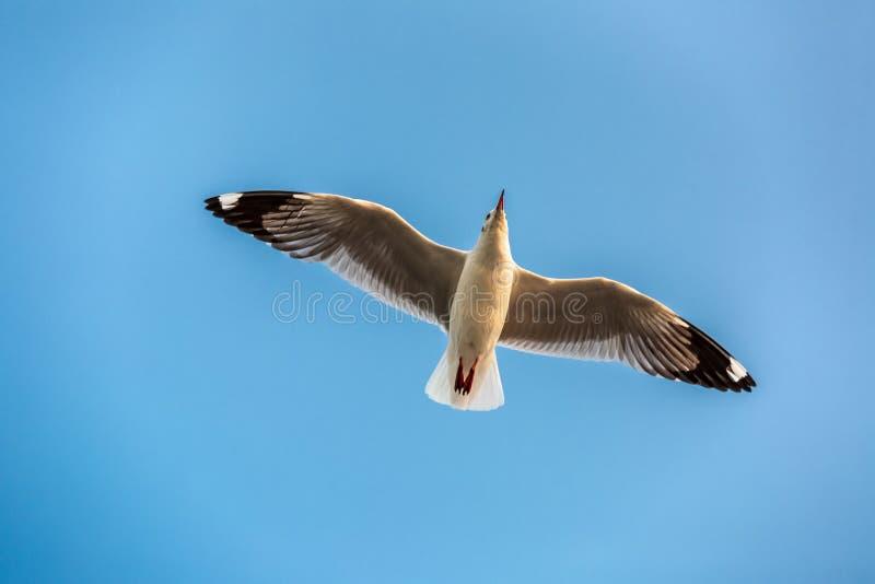 Seagull, τα πουλιά μεταναστεύει από τη Σιβηρία σε Bangpu Samutprakhan Ταϊλάνδη, είναι από τον ταξιδιώτη κατά τη διάρκεια του ηλιο στοκ φωτογραφίες