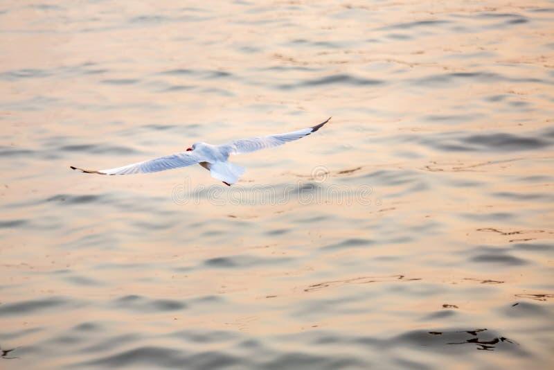 Seagull, τα πουλιά μεταναστεύει από τη Σιβηρία σε Bangpu Samutprakhan Ταϊλάνδη, είναι από τον ταξιδιώτη κατά τη διάρκεια του ηλιο στοκ φωτογραφία με δικαίωμα ελεύθερης χρήσης