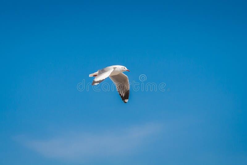 Seagull το πουλί μεταναστεύει από τη βόρεια περιοχή της Ασίας στην Ταϊλάνδη στοκ εικόνα με δικαίωμα ελεύθερης χρήσης