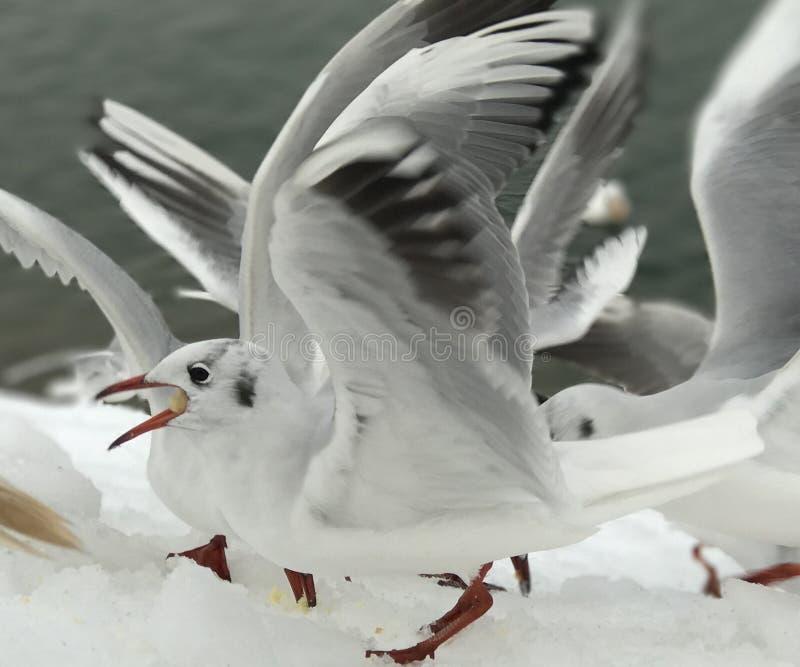 Seagull τρώει το μεσημεριανό γεύμα στο χιόνι στοκ φωτογραφία με δικαίωμα ελεύθερης χρήσης
