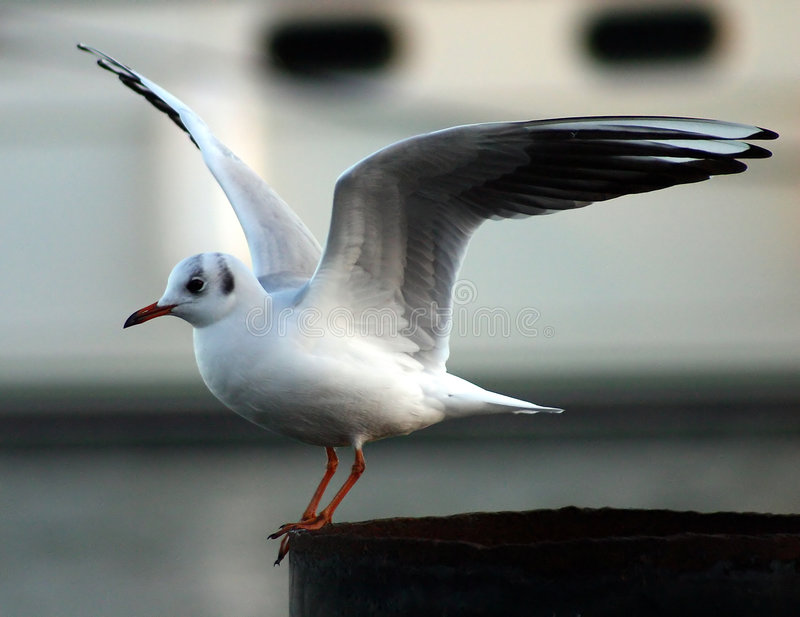 Download Seagull stock image. Image of flight, outdoors, animals, gulls - 2273
