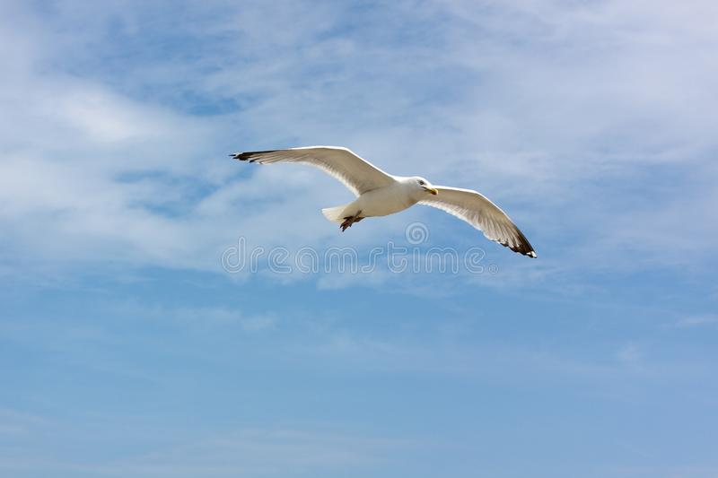 Download Seagull stock image. Image of tropical, organism, gliding - 10007191
