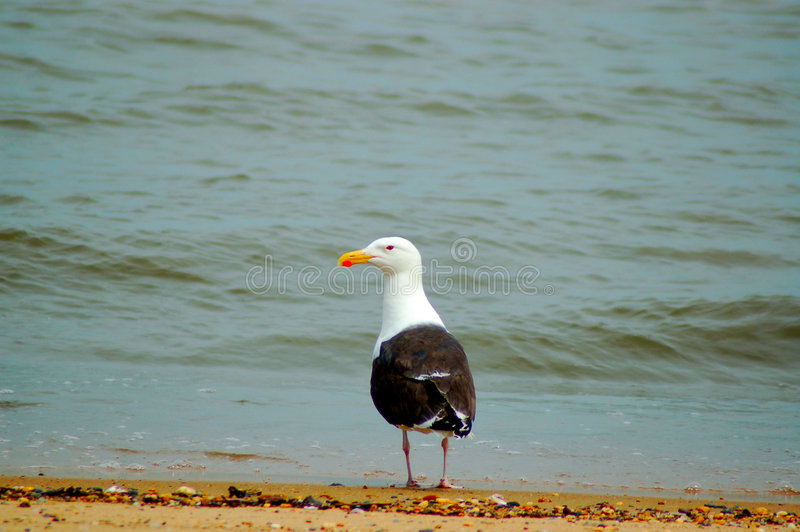 Seagull. Photograph of a Seagull in the Delaware Bay royalty free stock image
