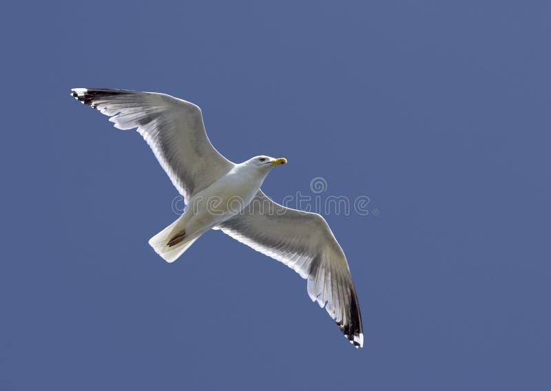 Download Seagull stock photo. Image of seafowl, animal, vertebrate - 10424368