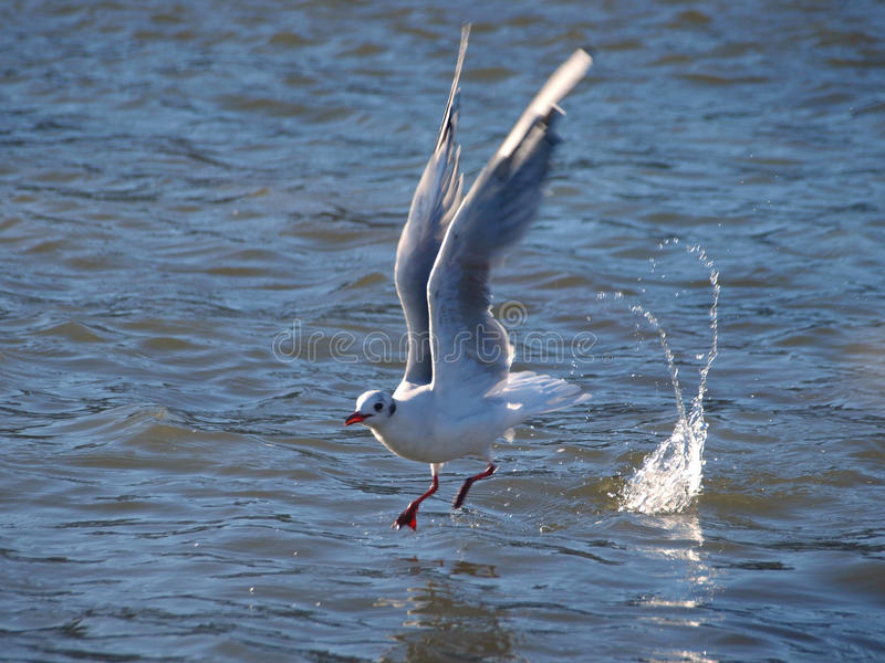 Download Seagull stock image. Image of water, white, droplets - 10842113
