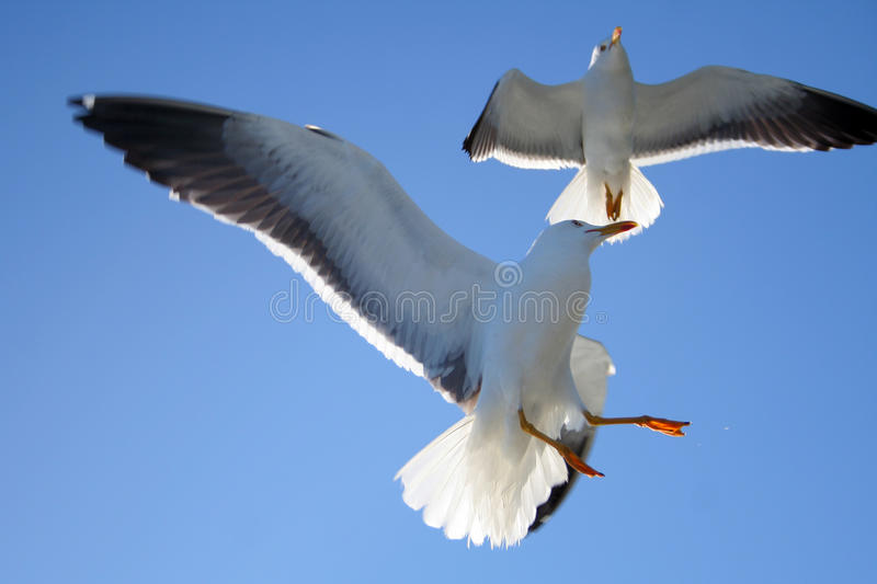 Download Seagull Stock Images - Image: 10916814