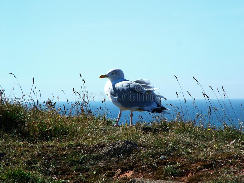 Seagull Free Stock Photography