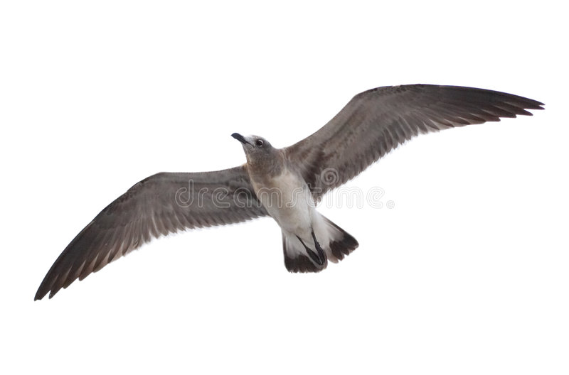 Seagull. Over white background royalty free stock images