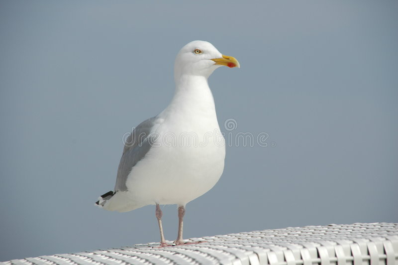 Seagull. Standing on a beachchair stock photography