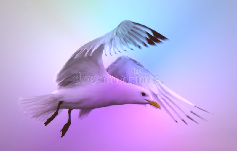 Seagull. A beautiful seagull flying in sky stock photo