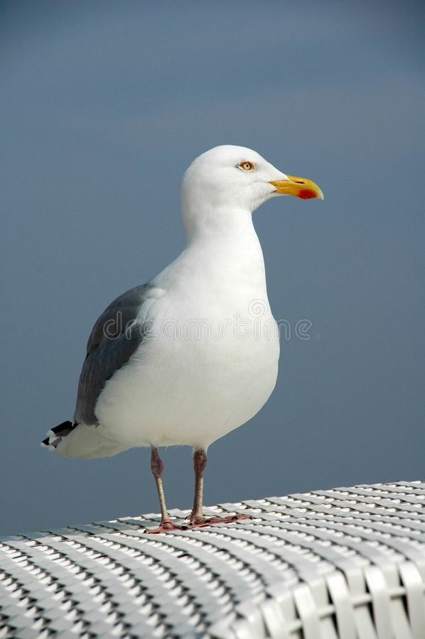 Seagull. Standing on a beachchair royalty free stock photos