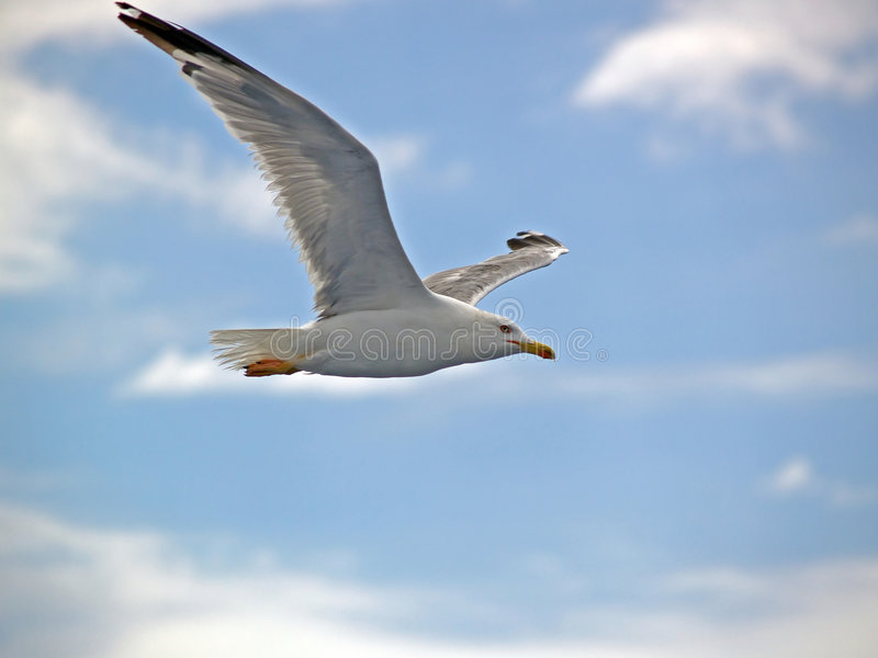 Seagull. In Flight with wide spread wings royalty free stock image