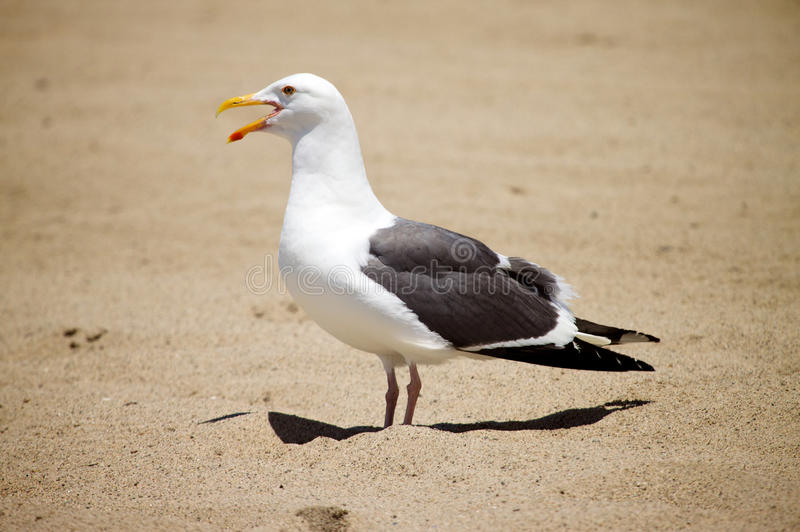 Download Seagull stock photo. Image of copy, cape, larus, eyes - 14484688