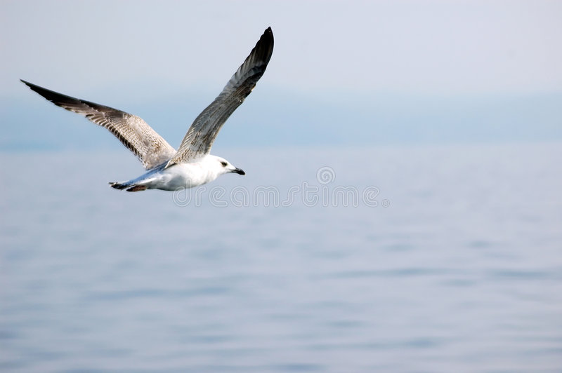 Download Seagull Stock Photo - Image: 1700140