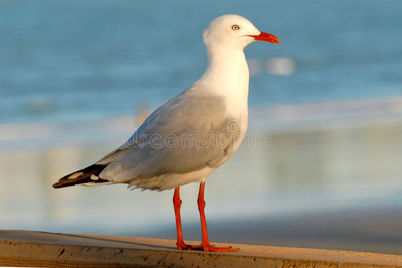 Seagull. At Capricorn Coast, Yeppoon, Queensland Australia royalty free stock image