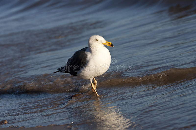 Download Seagull Stock Image - Image: 17611791