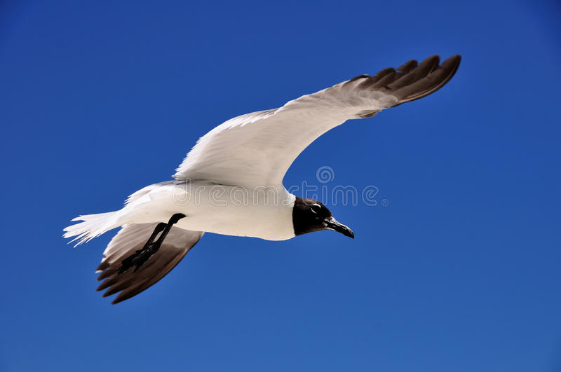 Download Seagull Royalty Free Stock Photos - Image: 17637718
