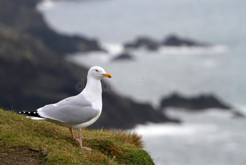 Download Seagull stock image. Image of fishing, country, beach - 18067327
