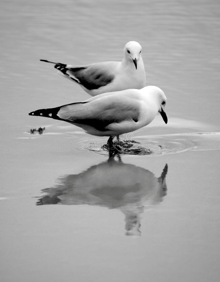 Seagull. Looking for clams on the beach royalty free stock photo