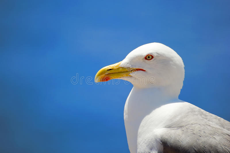 Download Seagull stock photo. Image of gliding, color, open, feather - 20179568