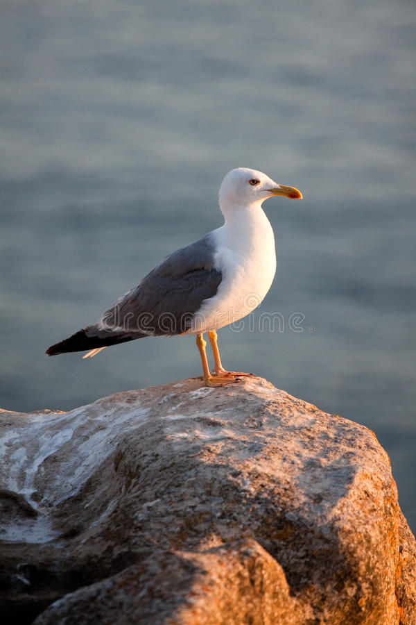 Free Seagull Royalty Free Stock Photos - 21040638