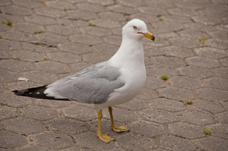 Download Seagull stock photo. Image of animal, feet, sidewalk - 22712222
