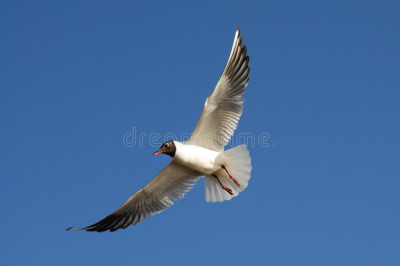 Download The Seagull Royalty Free Stock Images - Image: 2300339