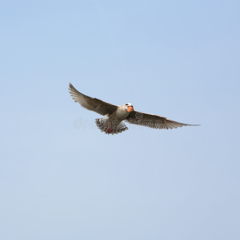 Download The Seagull Royalty Free Stock Images - Image: 2320529