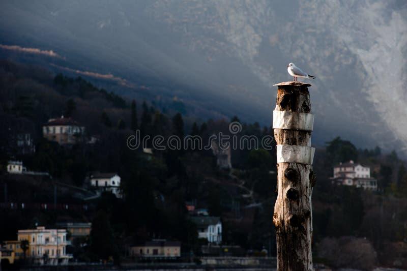Download Seagull stock image. Image of piedmont, italia, seagull - 23585505