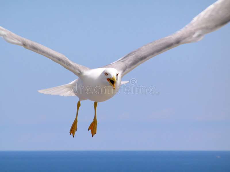 Download Seagull arkivfoto. Bild av fjäder, seagull, jakt, flyg - 239284